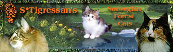 S*Tigressan's Norwegian Forest Cats